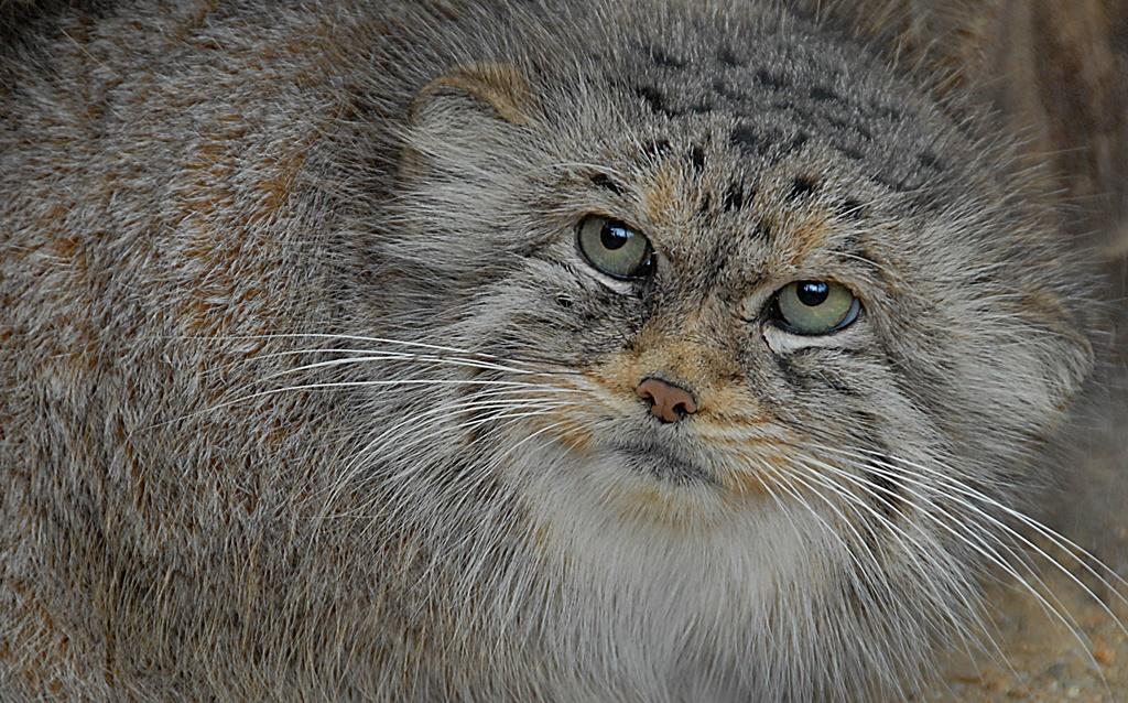 Młoda samica manula z włoskiego Zoo Agrate wprowadziła się do Zoo Görlitz-Zgorzelec